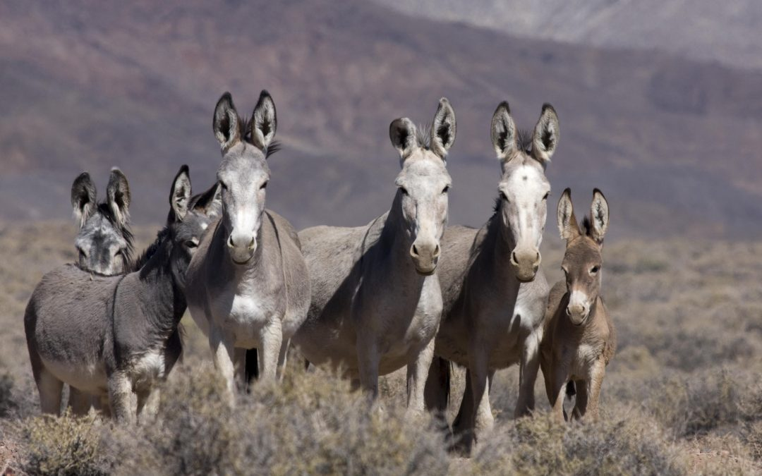 BLM to gather wild burros in three communities